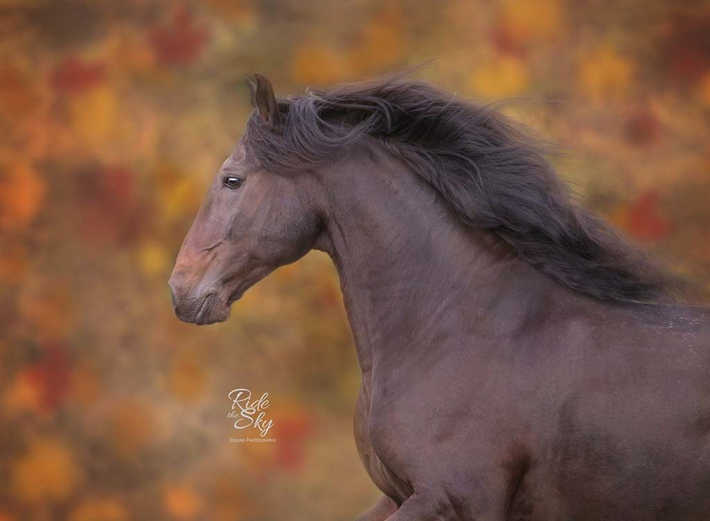 Andalusian Horse Photographed in Fall Field at Liberty Knoxville Tennessee