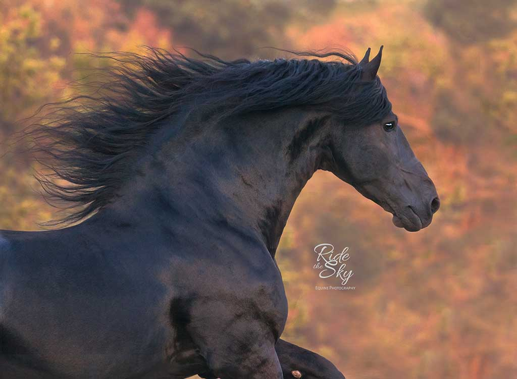 Friesian Stallion Liberty Chattanooga Knoxville Tennessee
