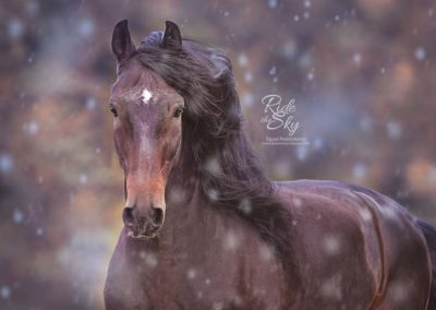 Andalusian Stallion in Snow from the image portfolio of Ride the Sky Equine Photography