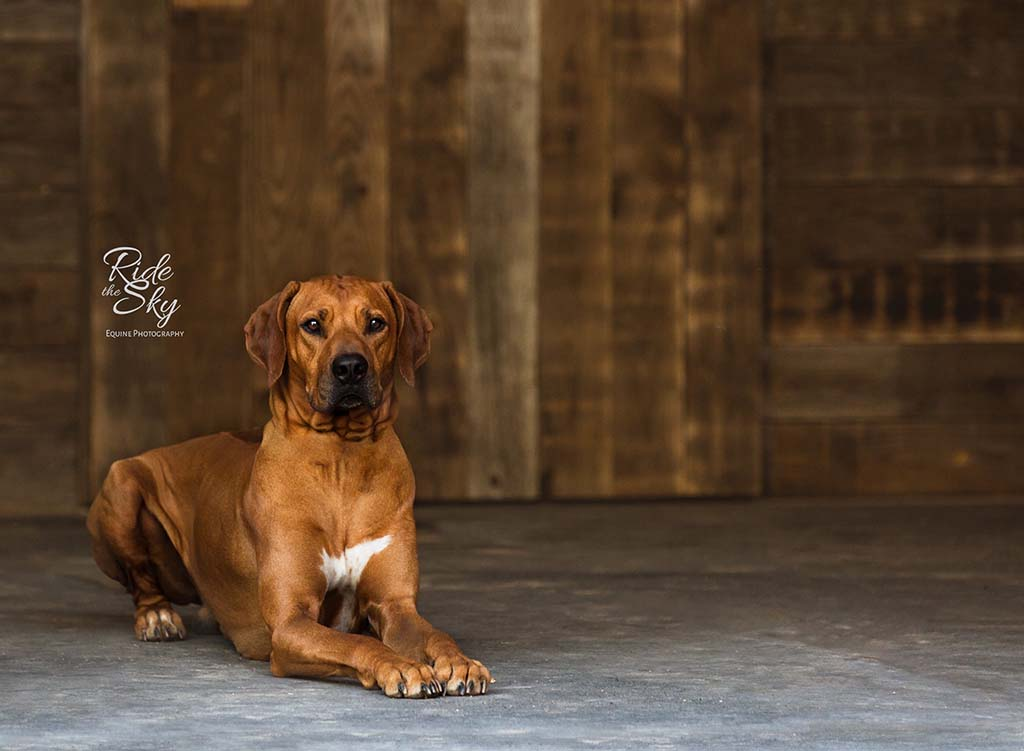Rhodesian Ridgeback Dog Portrait Chattanooga Tennessee