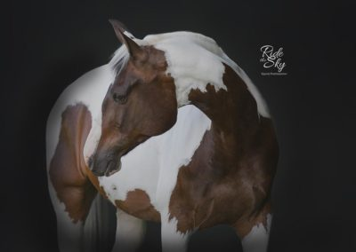 Warmblood Horse Black Background Chattanooga Knoxville Tennessee