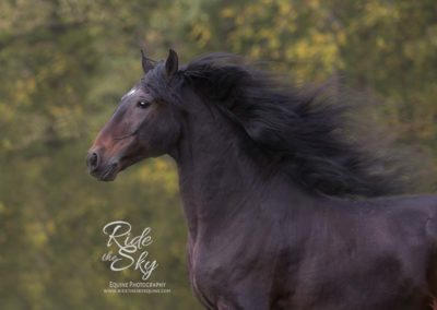 andalusian-horse-liberty-picture-ridetheskyequine