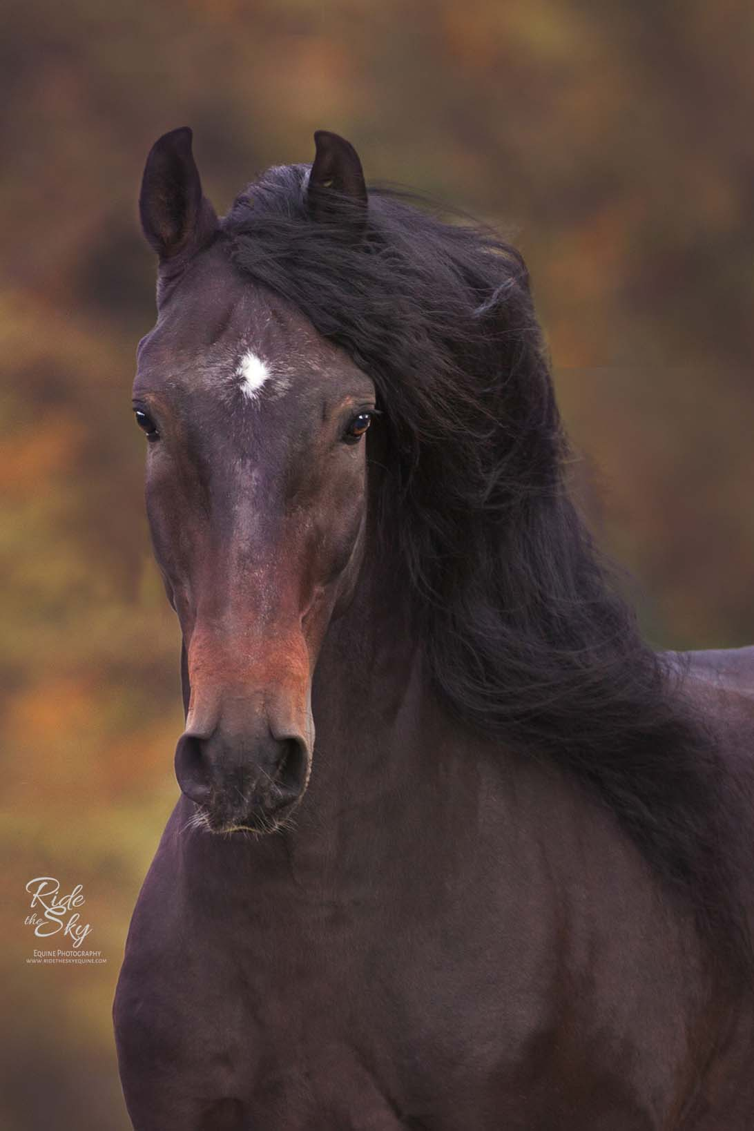Andalusian Stallion at Liberty in Field Portrait in Fall in Indiana