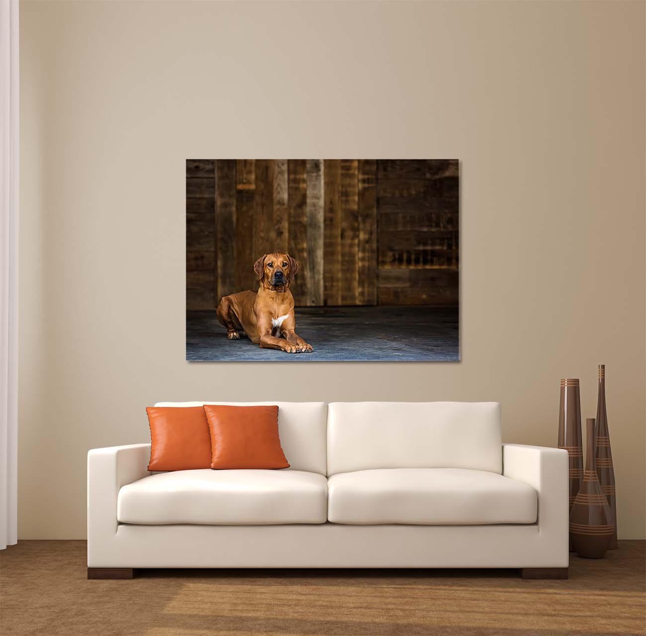 Framed Print of Rhodesian Ridgeback Dog over Couch