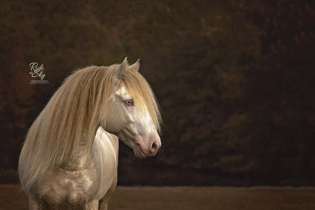 Gypsy Vanner Horse in Field in Fall