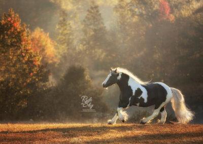 Gypsy Vanner Mare in fall field