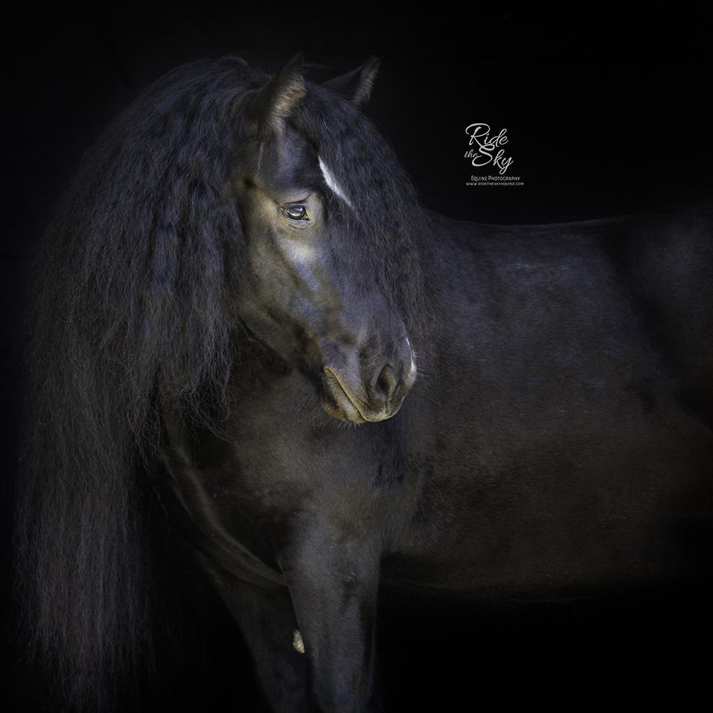 Gypsy Vanner horse Black Background Portrait