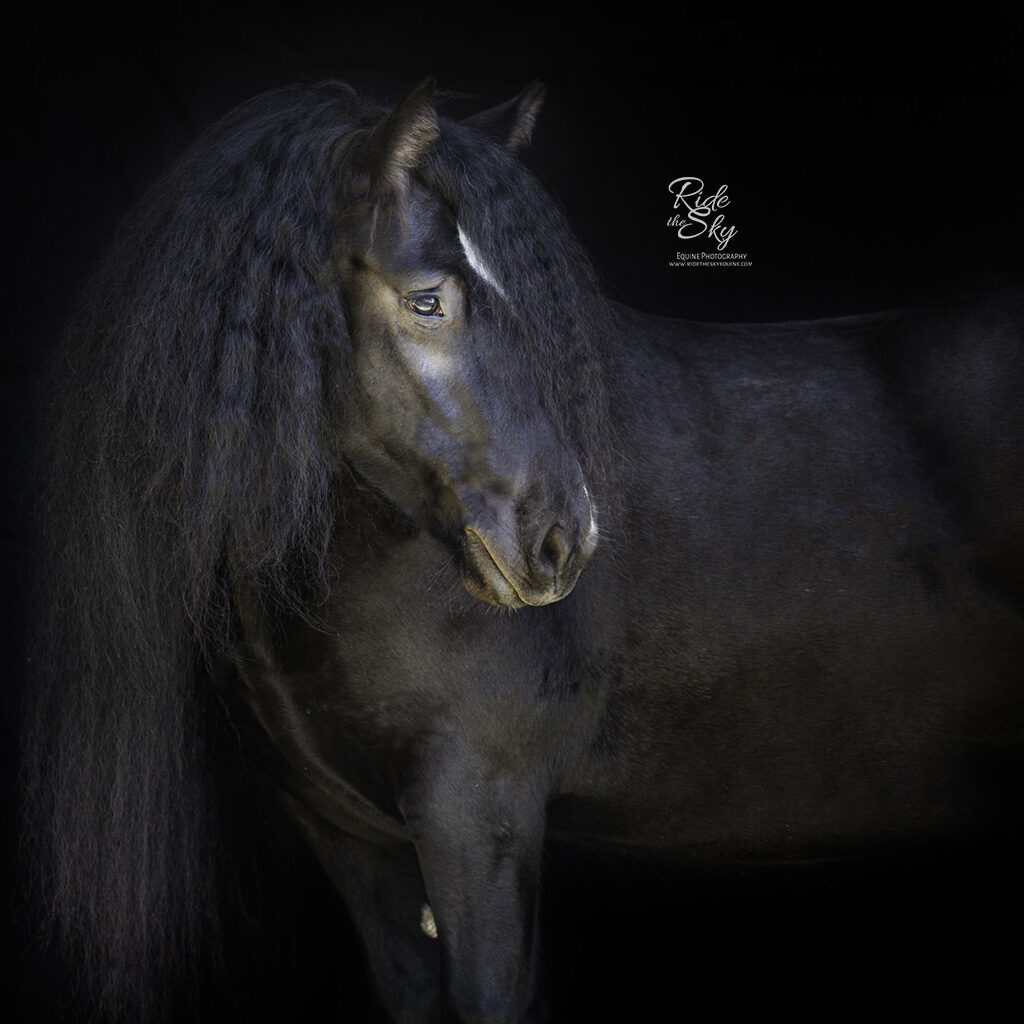 Gypsy Vanner Mare on Black Background