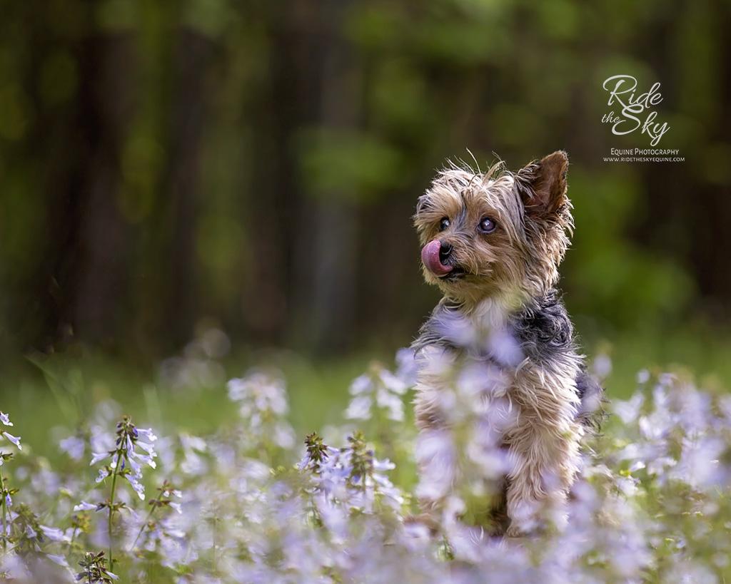 Yorkshire Terrier in purple flower field in Chattanooga