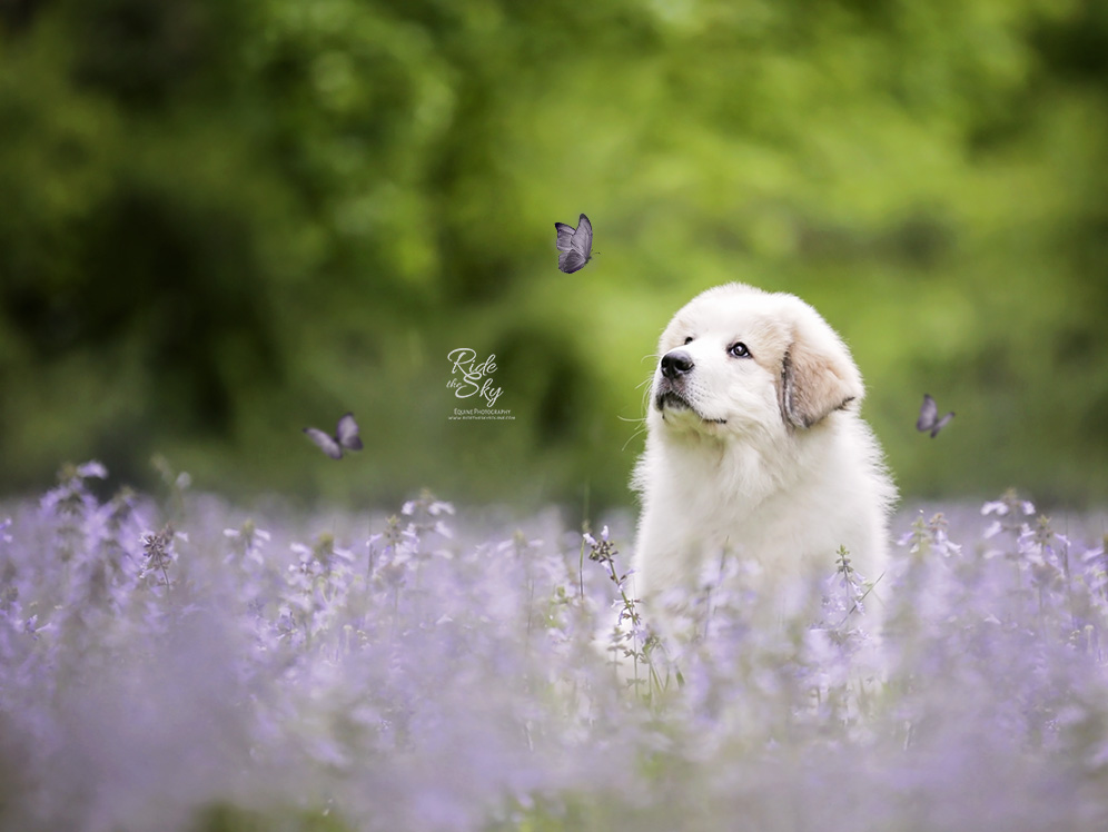 Great Pyrenees Puppy in purple flower field