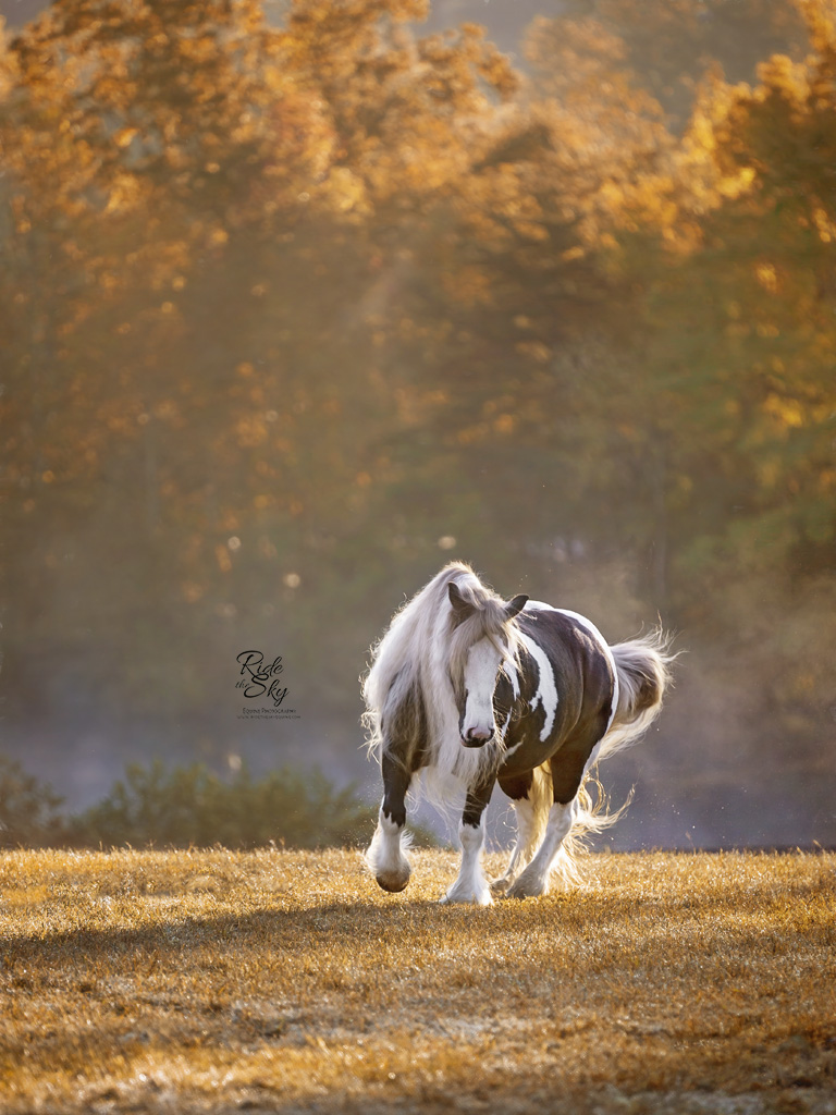 Fine Art Portrait of Gypsy Vanner Horse at Liberty in the Field in Fall