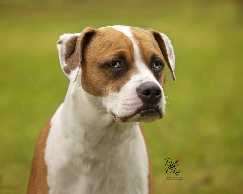 Boxer Dog Photographed in Fall in Chattanooga TN