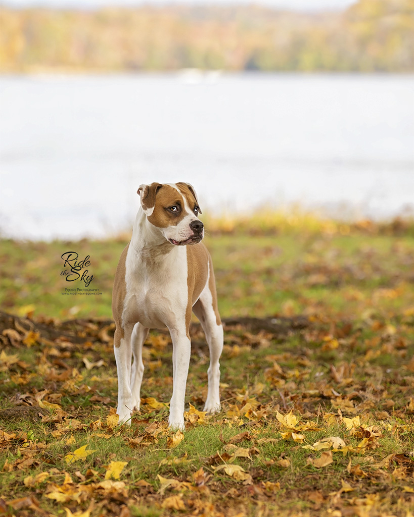 Boxer Dog Portrait in front of Lake in Fall