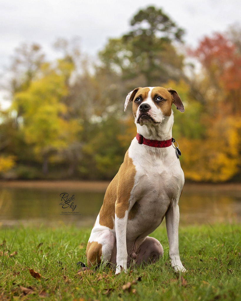 Portrait of Boxer Dog in Chattanooga TN