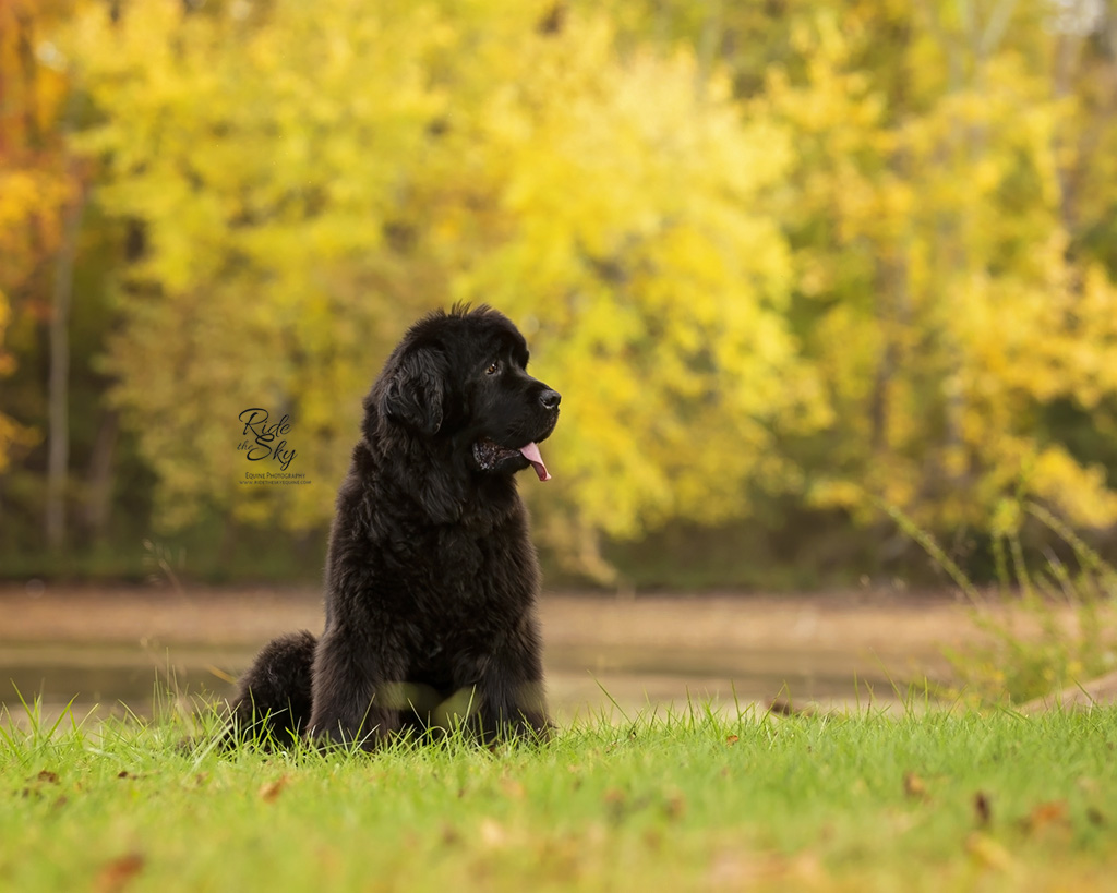 Newfoundland Dog Portrait in Fall at Chester Frost Park