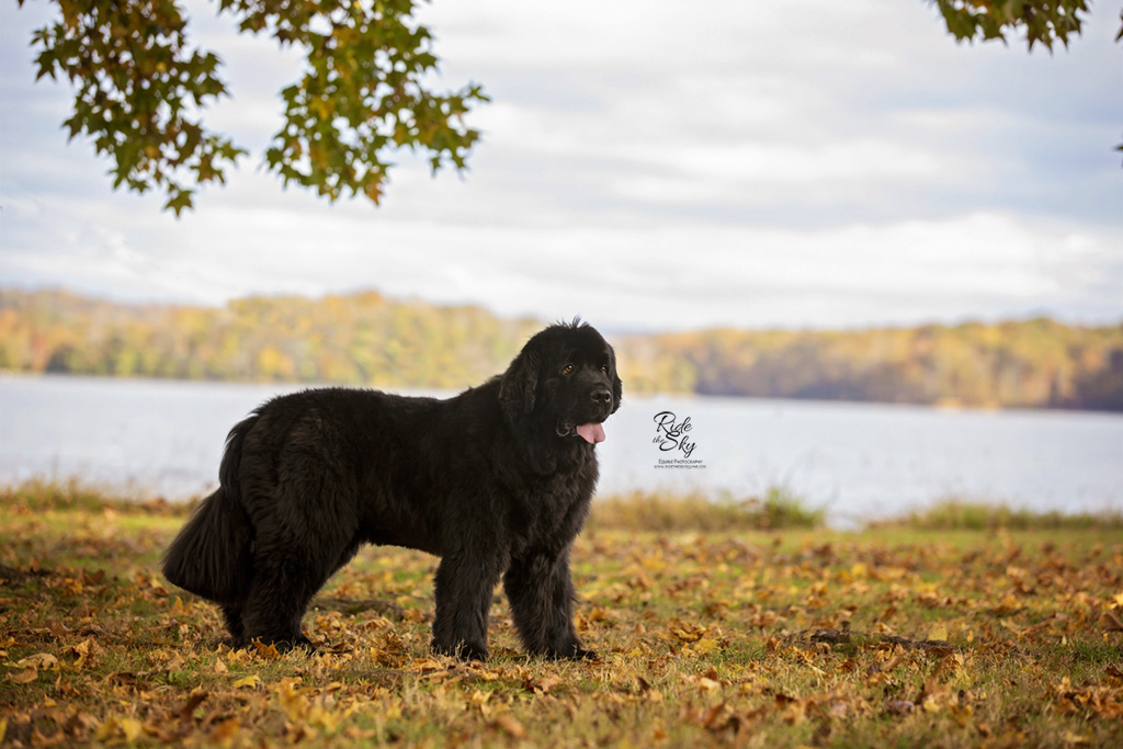 Pet Photography of Newfoundland Dog in Hixson Tennessee