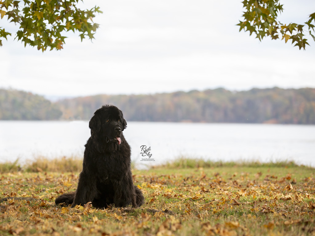 Newfoundland Dog in front of lake in Soddy Daisy Tennessee