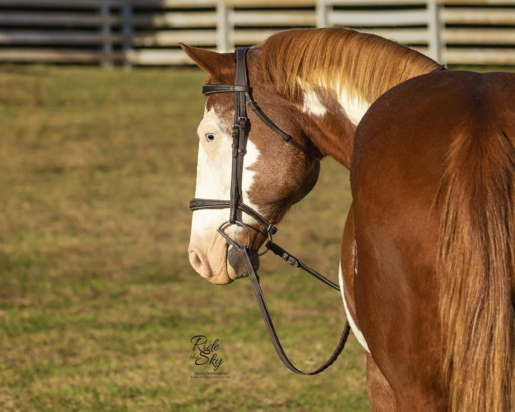 Paint Quarter Horse Photographed in field in Chattanooga Tennessee