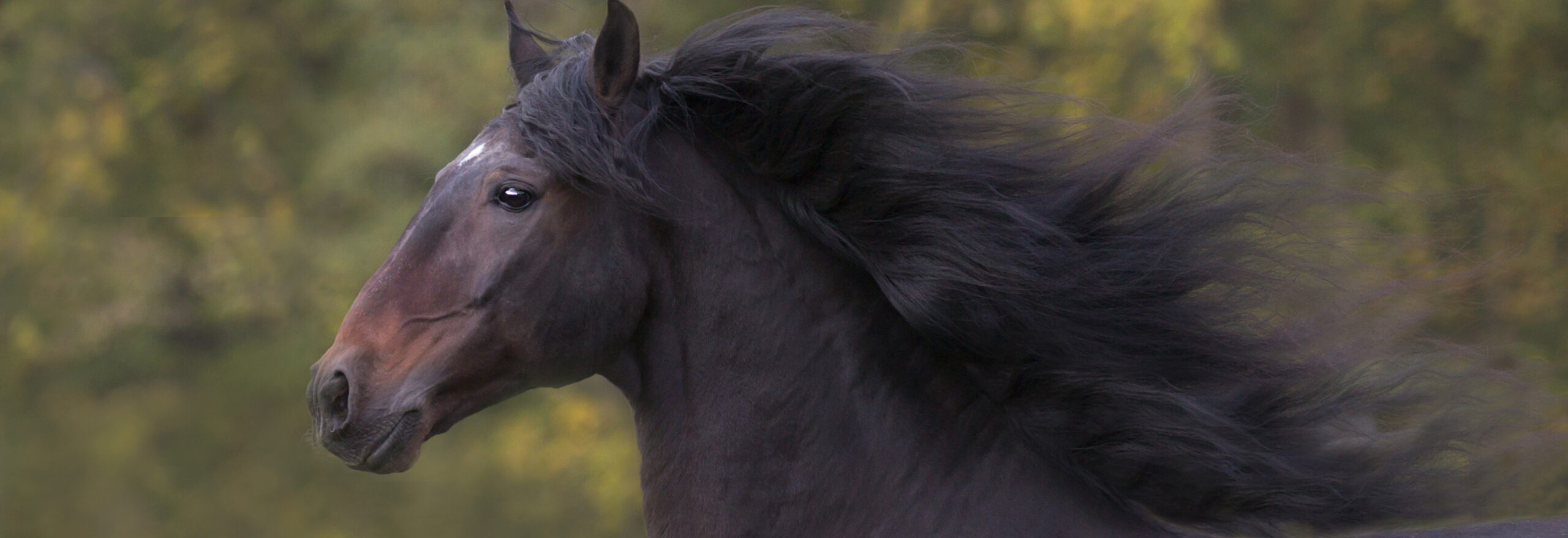 Andalusian Horse with Mane Flying