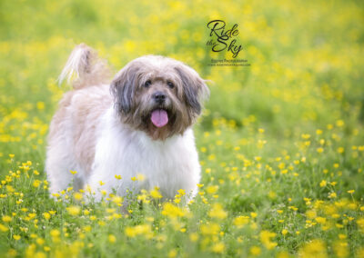 Mixed breed dog standing in yellow flowers in spring with tongue out