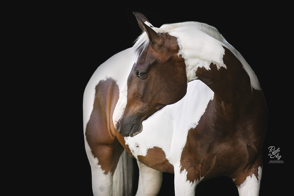 Equine Photography Portrait of Warmblood chestnut tobiano Horse