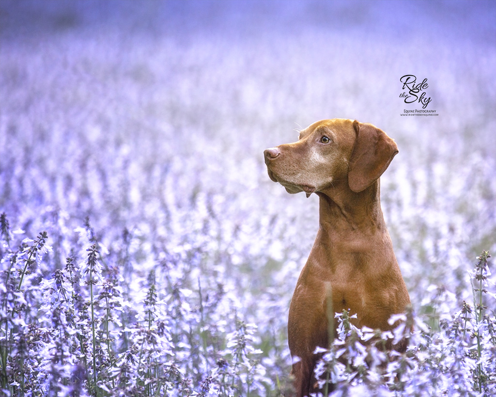 Vizsla Dog in Purple Flower Field