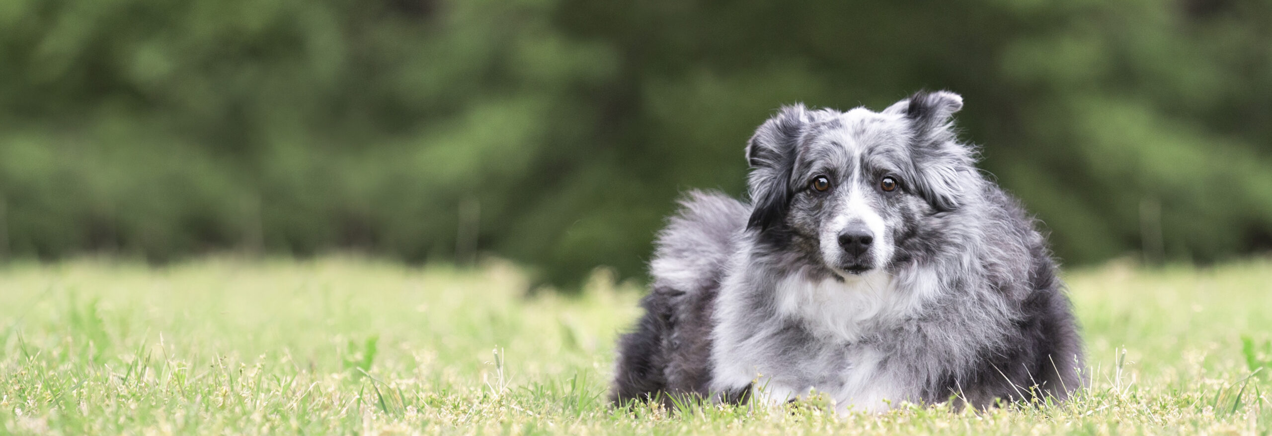 Black Gray and White Long Haired Dog in green grass