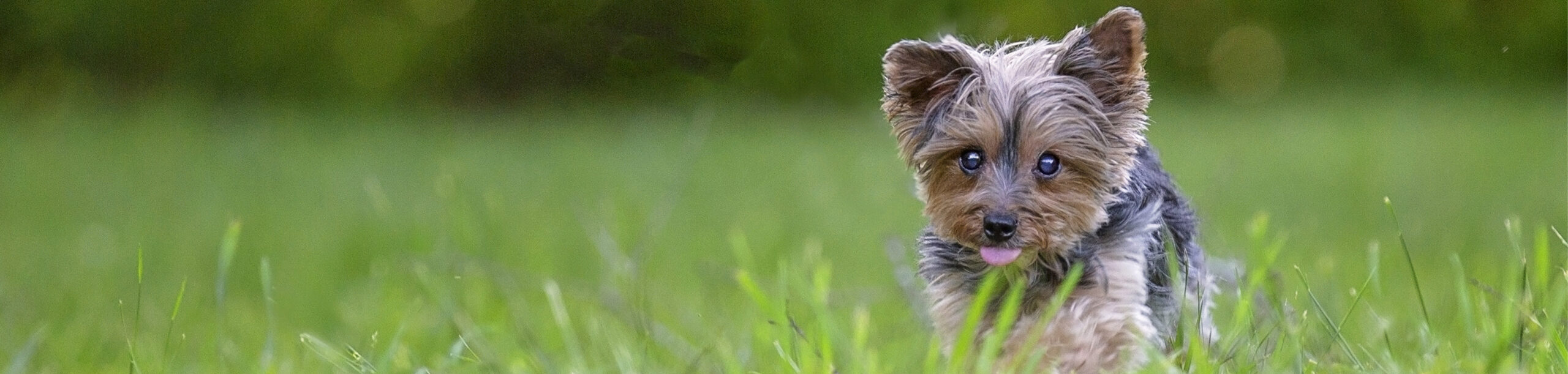 Small Dog running in grass with tongue out