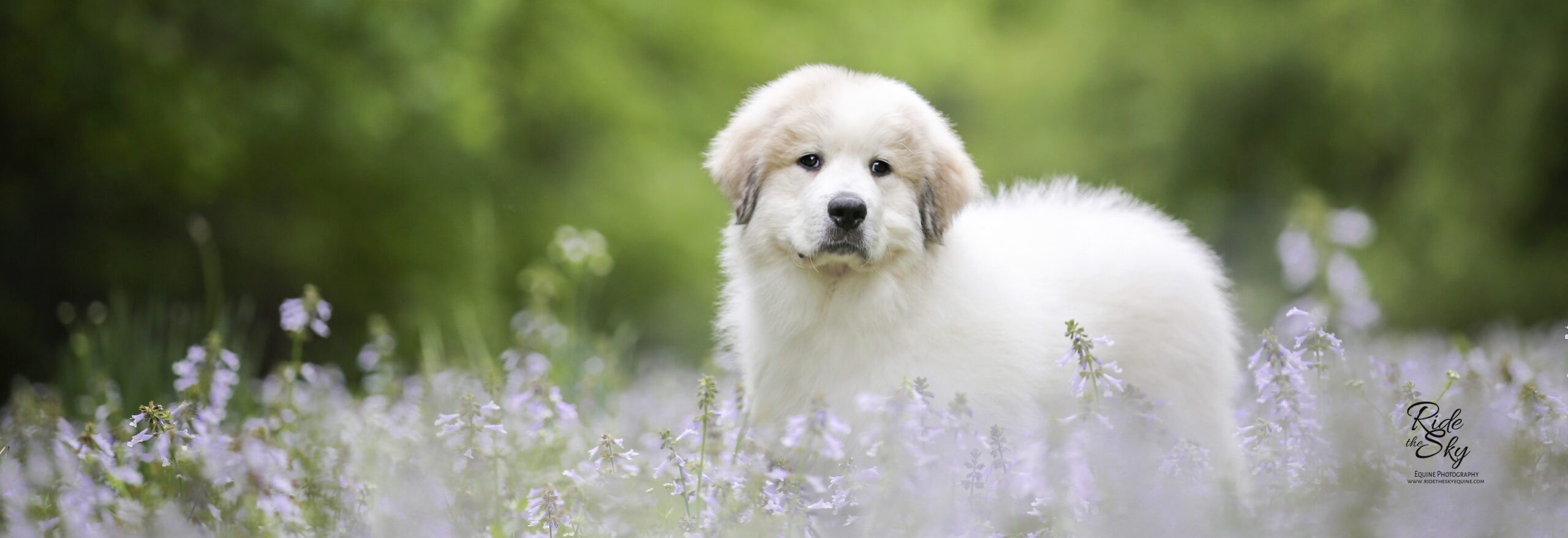 Great Pyrenees Puppy in Purple Flowers