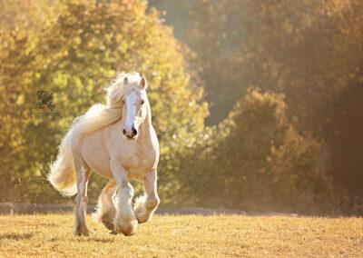 Gypsy Vanner Galloping in Field
