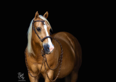 Black Background Portrait of Paint Horse and Quarter Horse in Western Tack