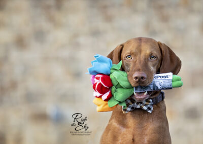 Vizsla dog with flowers in his mouth