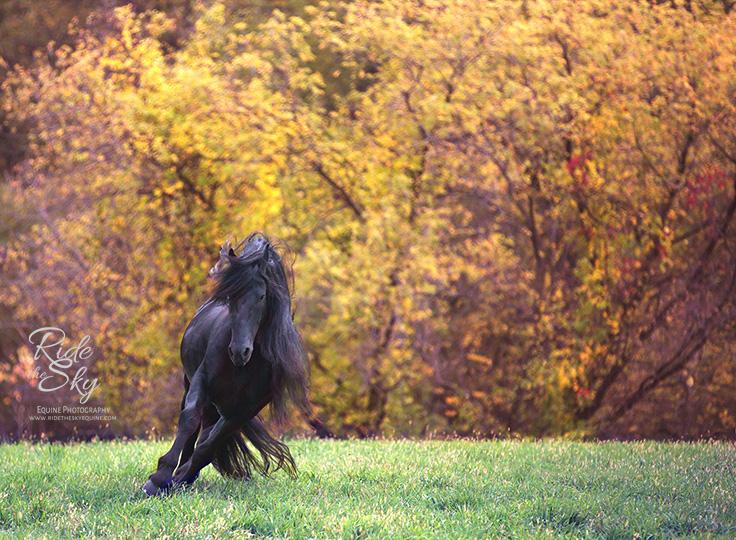 Friesian Stallion in field