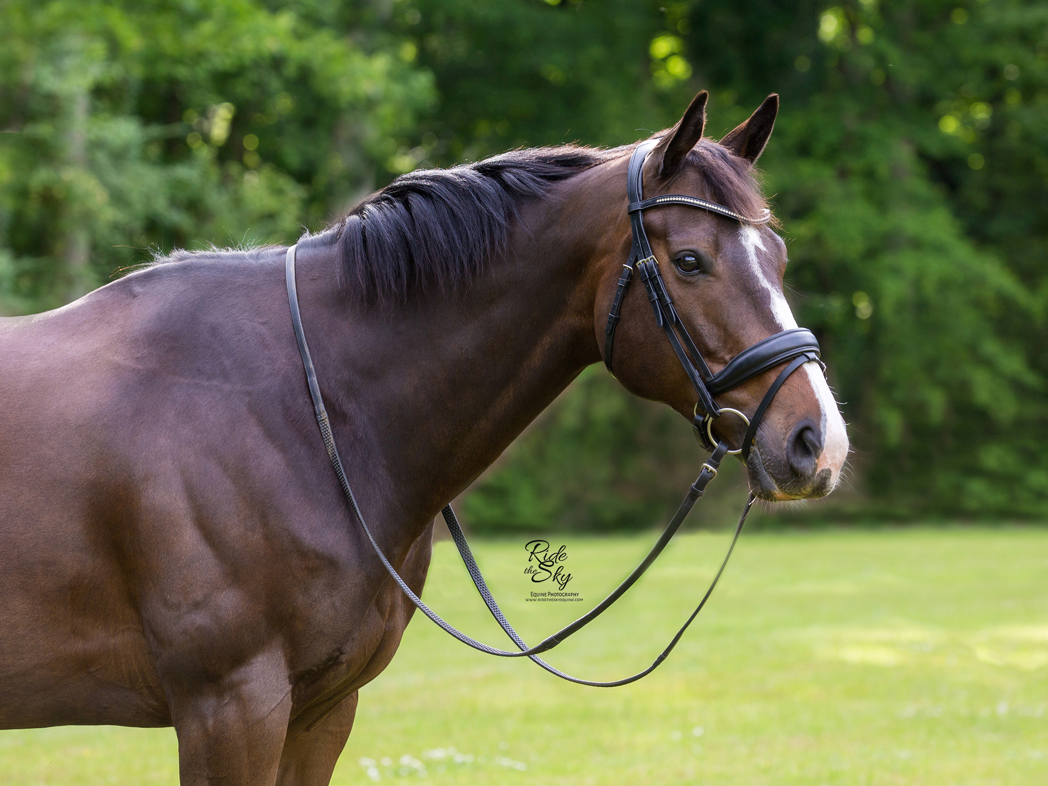 Thoroughbred Horse in bridle standing in summer field
