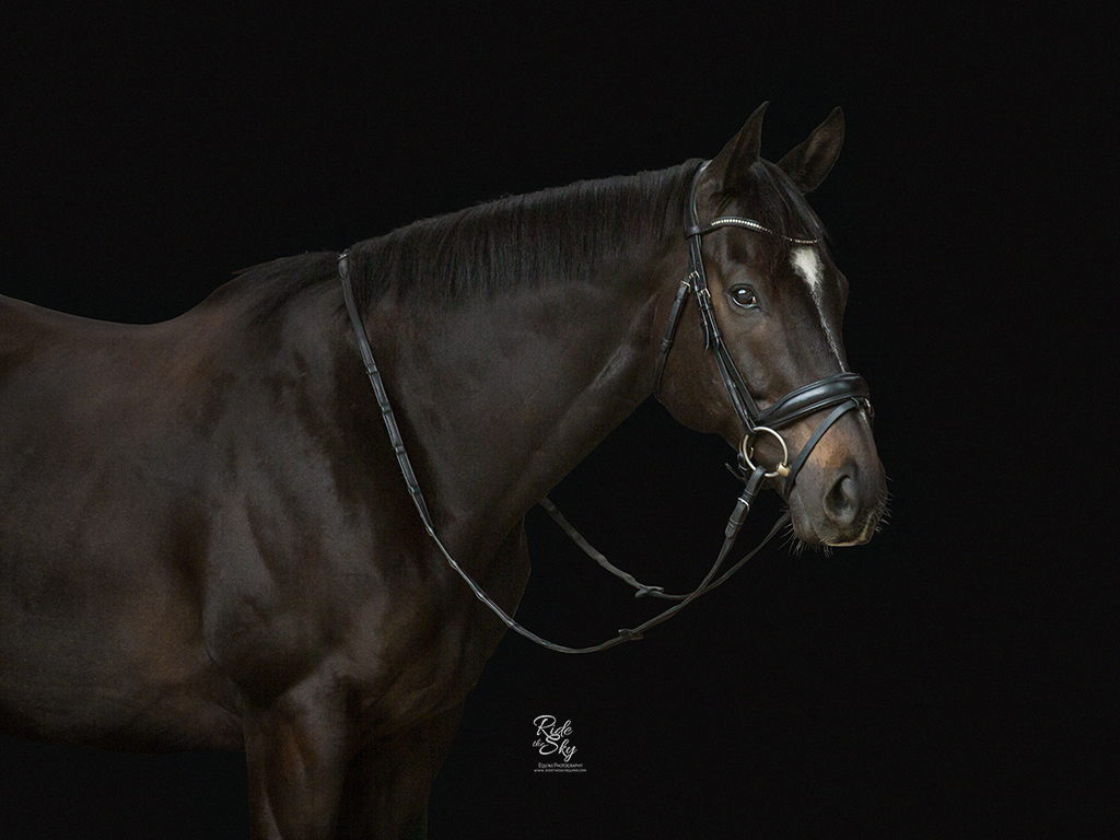 Portrait of Thoroughbred horse with black background